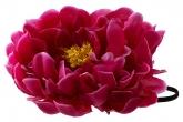 "Большой цветок ""Пион"" цвета фуксии на резинке."